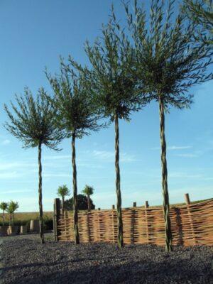 Fire palmelignende træer på række