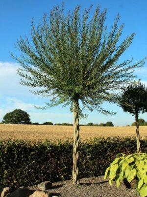 et palmelignende træ i solskinsvejr